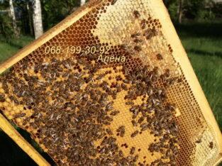 Бджоли : продам пчёл Карпатской породы — пчелопакеты, плодных меченых маток