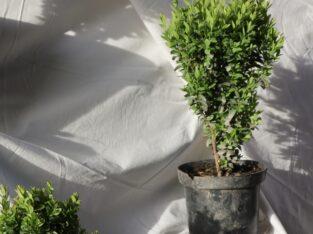 Самшит вічнозелений, садові рослини