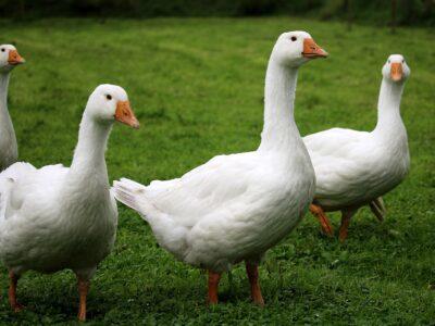 Купим пух- перо водоплавающей птицы новое и б/ у