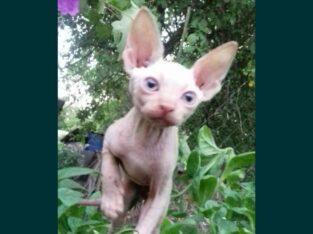 Продаю котика ,,Канадский Сфинкс ,,