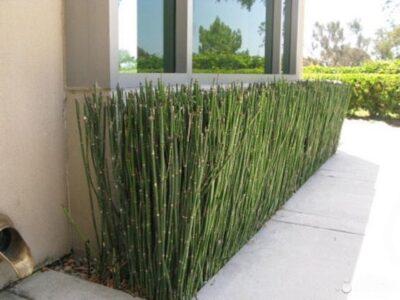 Зимующий бамбук — отличное дополнение для сада