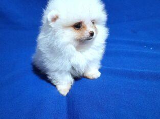 Продам щенка породы померанский шпиц. Девочка