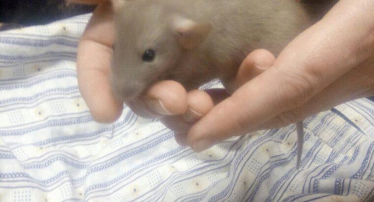 Крыски Дамбо