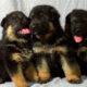 Продам щенков немецкой овчарки с отличной родословной от титулованных родителей.