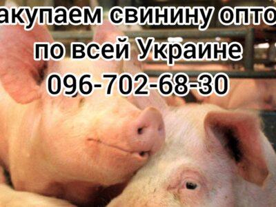 Куплю свиноматку,хряка,выбраковок,санбрак