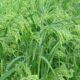 семена проса, гороха, сои, пшеницы