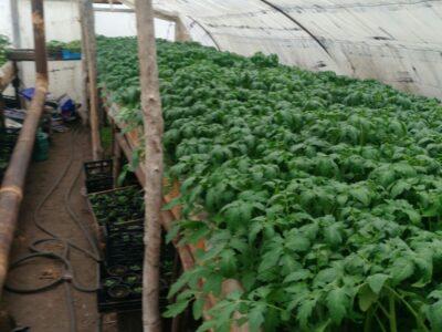 Продам рассаду помидор