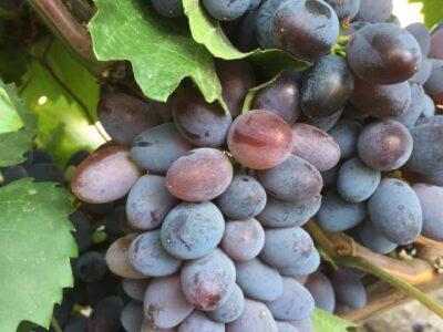 Виноград свежий столовый